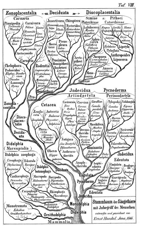 Ernst Haeckel's family tree of the mammals, from 1866.
